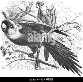 Carolina parakeet, Conuropsis carolinensis, Carolina conure, illustration from book dated 1904