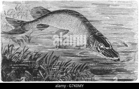 Northern pike, Esox lucius, jackfish, illustration from book dated 1904 - Stock Photo