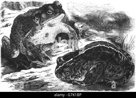 Common toad, European toad, Bufo bufo and natterjack toad, Bufo calamita, illustration from book dated 1904 - Stock Photo
