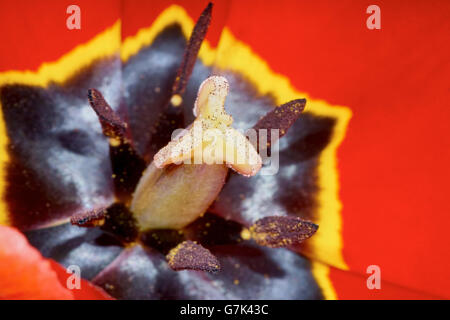 The core of the Tulip.The stamens and pistil - Stock Photo