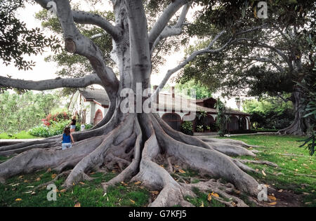 Massive, twisted and aggressive roots easily identify the Moreton Bay fig tree (Ficus macrophylla), which is also - Stock Photo