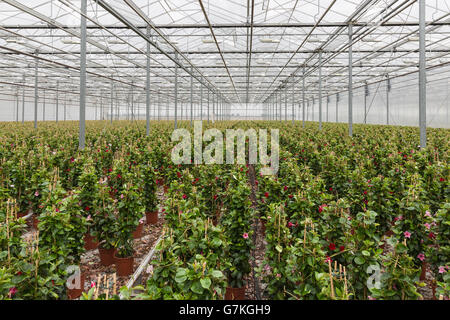Sundaville flowers growing in a big greenhouse - Stock Photo