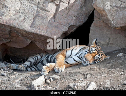 The image of Tiger ( Panthera tigris ) Noor or T39 was taken in Ranthambore, India - Stock Photo
