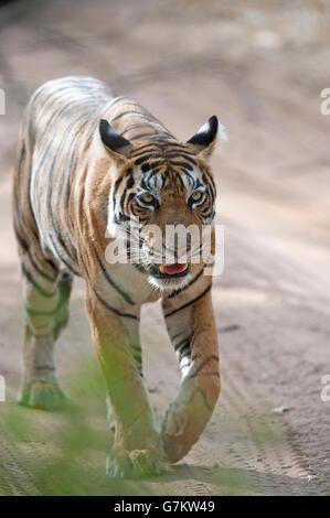 The image of Tiger ( Panthera tigris ) T60 was taken in Ranthambore, India - Stock Photo