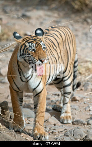 The image of Tiger ( Panthera tigris ) T60 was taken in Ranthambore, India - Stock Photo
