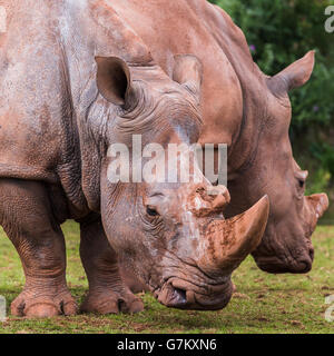 White Rhinoceros duo seen at the South Lakes Safari Zoo during the summer of 2016. - Stock Photo