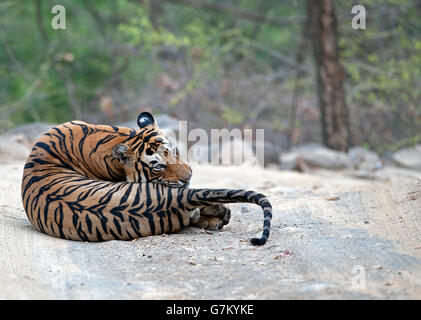 The image of Tiger ( Panthera tigris ) Pacman or T85 was taken in Ranthambore, India - Stock Photo