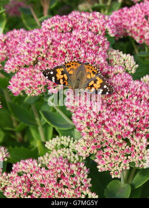 A Painted lady butterfly, Cynthia cardui, rests on the pink flowers of a Sedum spectabile plant in a summer garden. - Stock Photo