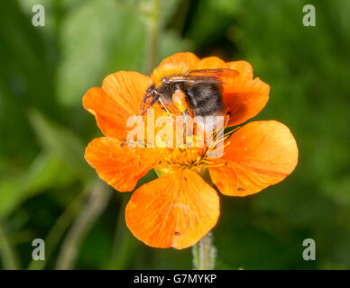 Bumble Bee on Orange Flower with its Pollen Basket. - Stock Photo