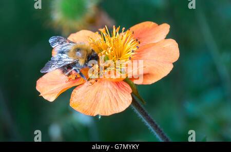 Bumble bee on orange flower close up image. - Stock Photo