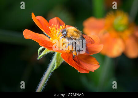 Bumble bee on orange flower close up image. - Stock Photo
