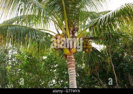 Florida Sanibel and Captiva island coconut palm trees in US - Stock Photo