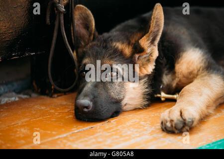 Close Up Head Young German Shepherd Alsatian Wolf Puppy Dog Sitting On Wooden Floor - Stock Photo