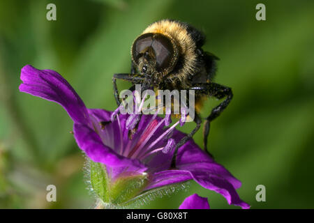 The fly sits on a violet flower - Stock Photo