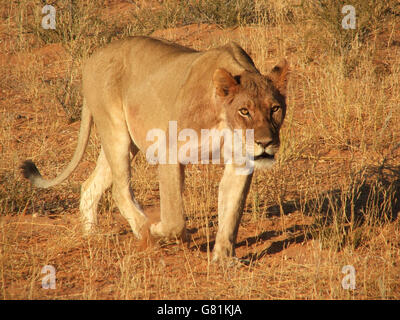 Lioness, Kgalagadi Transfrontier Park, Africa - Stock Photo