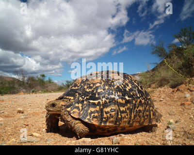 Mountain tortoise or leopard tortoise, (Stigmochelys pardalis), standing on sand, 2012 - Stock Photo