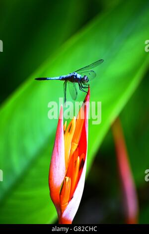 Blue dragonfly on a heliconia flower, Borneo - Stock Photo