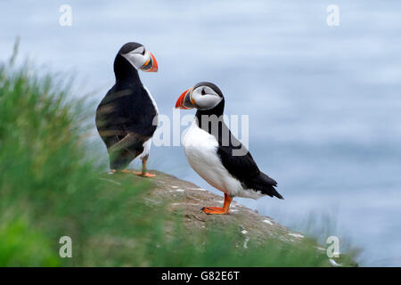 Puffin Birds perched on cliff rocks (Fratercula arctica), Westfjords, Iceland, Europe. - Stock Photo