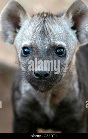 Spotted Hyena Baby (Crocuta crocuta), Kruger National Park, South Africa - Stock Photo