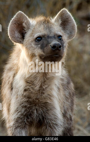 Spotted hyena (Crocuta crocuta), Kruger National Park, South Africa - Stock Photo