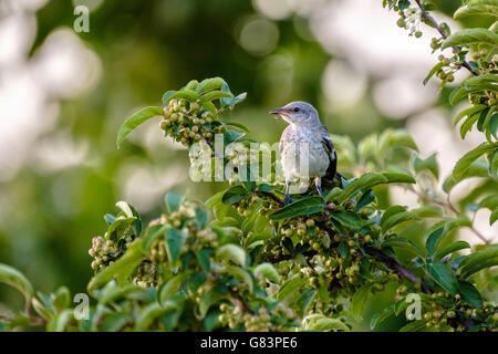 A fledgling Northern Mockingbird,Mimus pollyglottos, perches in a crabapple tree, Malus, in Oklahoma, USA. - Stock Photo
