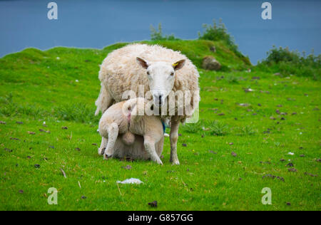 sheep on the green grass in isle of skye in scotland - Stock Photo