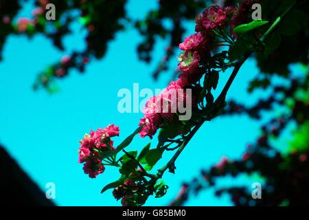 HAWTHORN TREE IN BLOSSOM. - Stock Photo