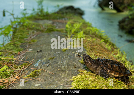 A close up of a baby snapping turtle. - Stock Photo