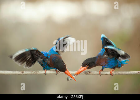 Two kingfisher birds on branch feeding on fish - Stock Photo