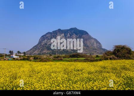 Canola field at Sanbangsan, Jeju, South Korea - Stock Photo