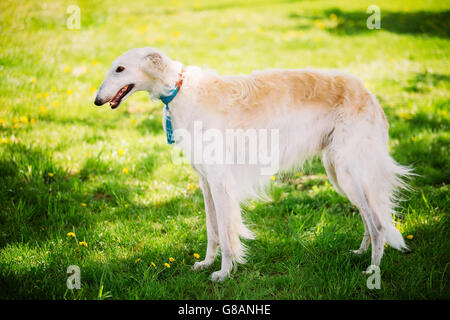White Gazehound Hunting Dog Staying Outdoor In Summer Meadow Green Grass. - Stock Photo