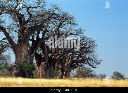Botswana, Baines Baobabs Nxai Pan - Stock Photo