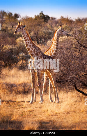 Two giraffes in the Savannah, in Namibia, Africa - Stock Photo