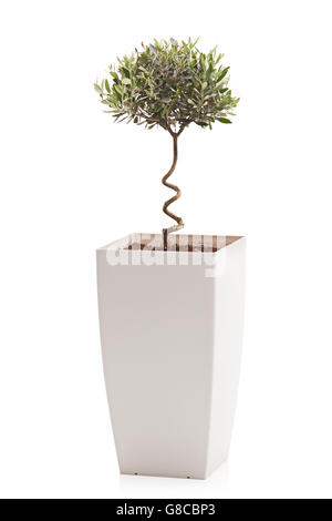 Vertical studio shot of an olive tree in a white flowerpot isolated on white background - Stock Photo