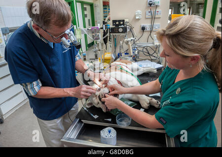 Veterinary surgeon and nurse operating on a dog - Stock Photo