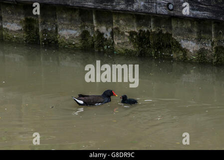 A common moorhen (Gallinula chloropus) feeding a chick - Stock Photo