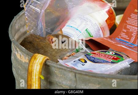 Brown Rat Rattus norvegicus eating discarded food waste - Stock Photo