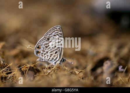 Common Blue butterfly, Leptotes pirithous, Ndumo Game Reserve, Maputaland, KwaZulu Natal, South Africa, - Stock Photo