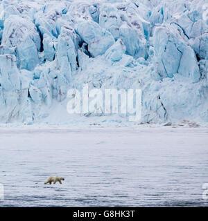 Solitary male polar bear walking on pack ice with glacier behind. Palanderbakka (bay), Nordaustlandet, Svalbard - Stock Photo