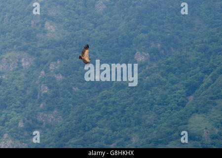 Common buzzard in flight over wood covered canyon in Armenia - Stock Photo
