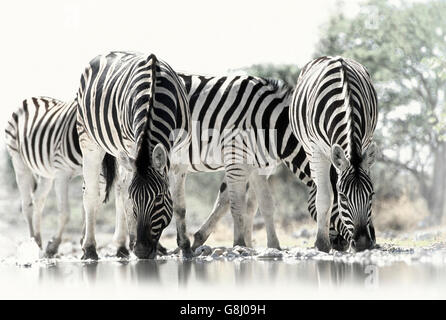 Zebras, Kruger National Park, South Africa, Black & White. - Stock Photo