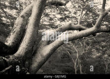 Acacia trees on mountain, Chizarira National Park, Zambia/Zimbabwe, Art, B&W. - Stock Photo