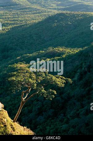 Acacia tree on mountain, Chizarira National Park, Zambia/Zimbabwe. - Stock Photo
