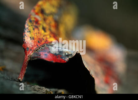 Water Pear tree leaf, Detailed close up, autumn colours, Kafue, Lusaka Province, Zambia. - Stock Photo