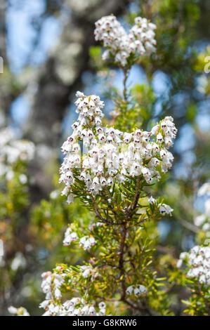 Flowers of Tree Heath, Erica arborea. Photo taken in Toledo Mountains, Ciudad Real Province, Spain - Stock Photo