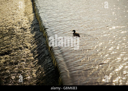 Mallard duck and wier in river, England UK - Stock Photo