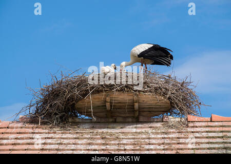 White Stork (Ciconia ciconia) in nest with juvenile birds, nest on roof, Salem, Bodenseekreis, Baden-Württemberg, - Stock Photo