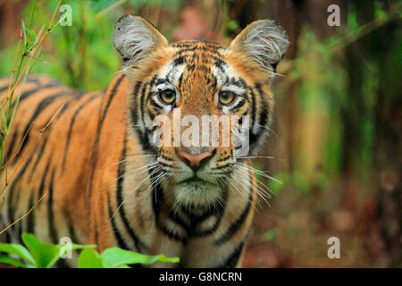 A Royal Bengal Tiger Cub in the Rain - Stock Photo