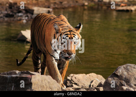 A tiger near a water body - Stock Photo