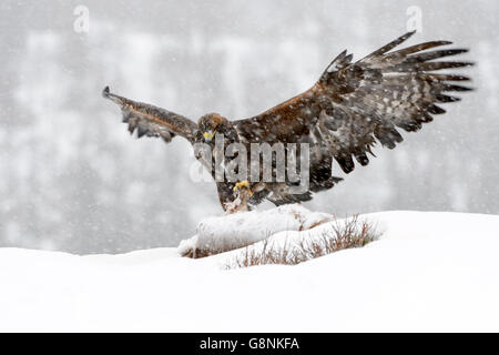 Golden Eagle (Aquila chrysaetos) adult, feeding during blizzard,, scavenging at carcass in snow, protecting it with - Stock Photo